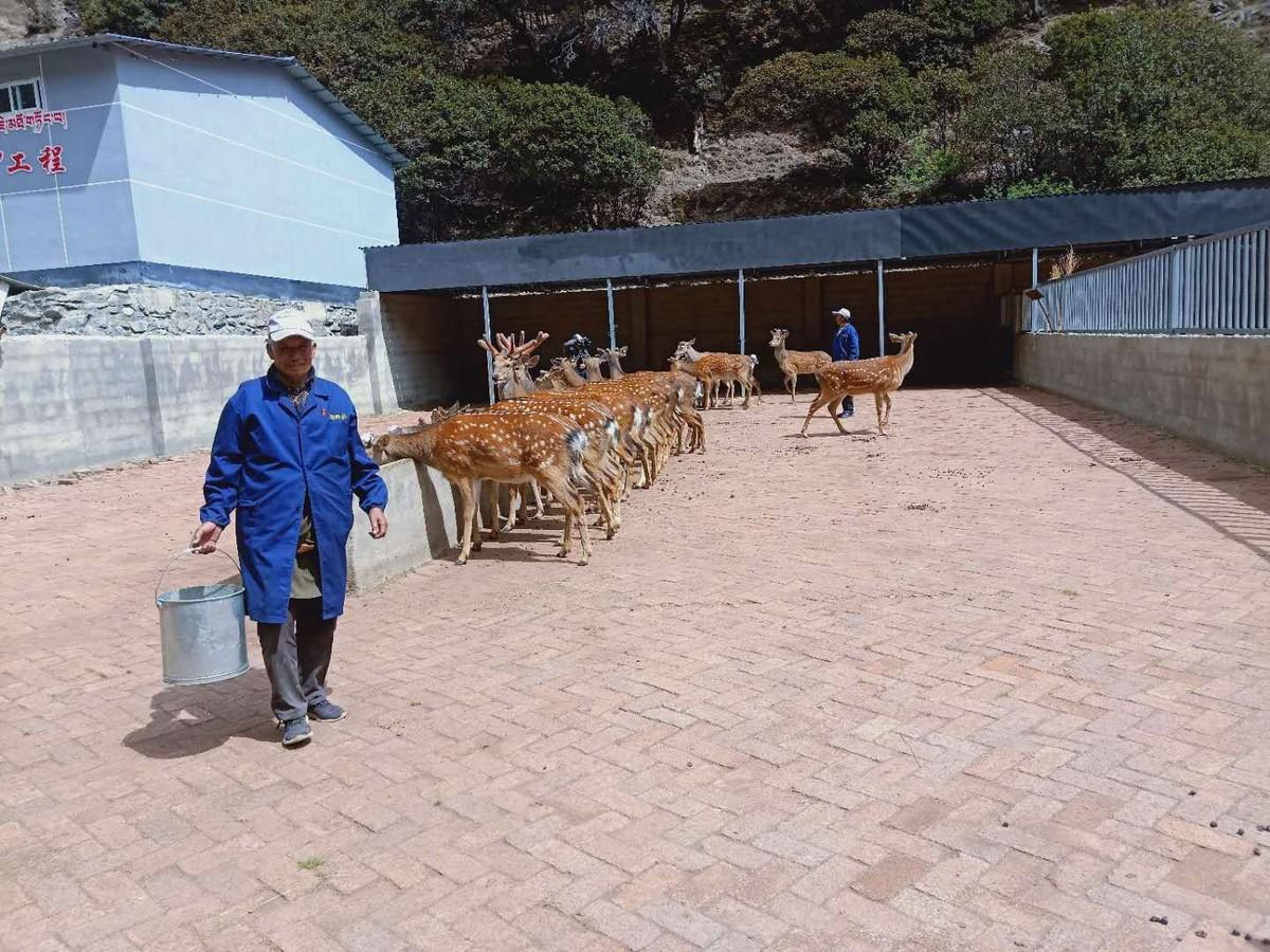 养殖梅花鹿、发展生态旅游,特色产业让稻城县农牧民脱贫奔康