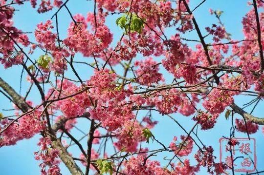 樱花的花语是