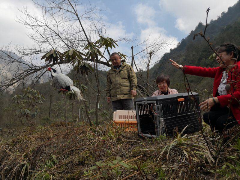 成都市野生动物救护中心(成都动物园)救护; 小熊猫1只,都江堰野生动物