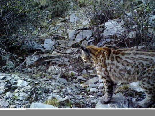 亚洲金猫_甘孜州白玉县首次拍摄到亚洲金猫